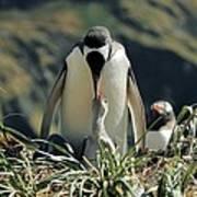 Gentoo Penguin Feeding Chick Art Print