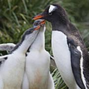 Gentoo Penguin Parent And Two Chicks Art Print