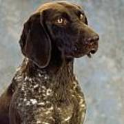 German Pointer Portrait Of A Dog Art Print