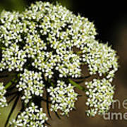 Giant Buckwheat Flower Art Print