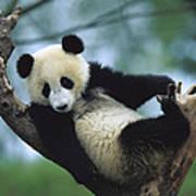 Giant Panda Cub Resting In A Tree Art Print