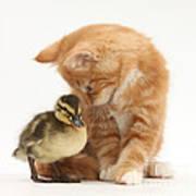 Ginger Kitten And Mallard Duckling Art Print