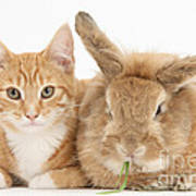 Ginger Kitten With Sandy Lionhead-cross Art Print