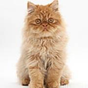 Ginger Persian Kitten Art Print