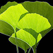 Ginkgo Leaves Art Print by Pasieka