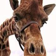Giraffe Big Nose Art Print