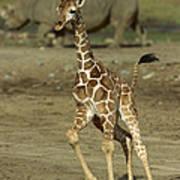 Giraffe Giraffa Camelopardalis Juvenile Art Print