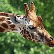 Giraffe's Tongue Art Print