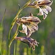 Gladiolus Maculatus Flowers Art Print