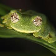 Glass Frog Centrolene Tayrona, Sierra Art Print