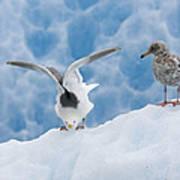 Glaucous-winged Gull Larus Glaucescens Art Print
