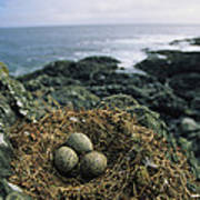 Glaucous-winged Gull Nest With Three Art Print by Joel Sartore