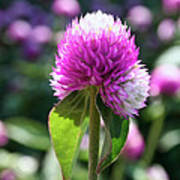Glowing Globe Amaranth Art Print