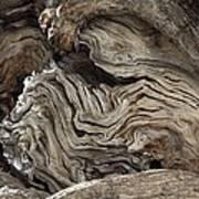 Gnarled Olive Tree Wood Art Print