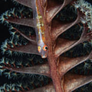 Goby On A Sea Pen, Indonesia Art Print