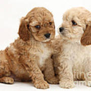 Golden Cockerpoo Puppies Art Print