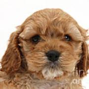 Golden Cockerpoo Puppy Art Print