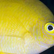Golden Damsel Close-up, Papua New Art Print