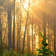 Golden Fog Thru The Trees Art Print