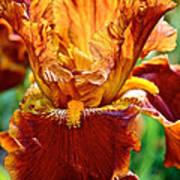 Golden Iris Art Print