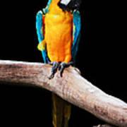 Golden Macaw Art Print