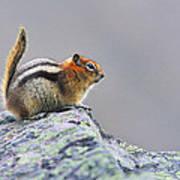 Golden-mantled Ground-squirrel Art Print