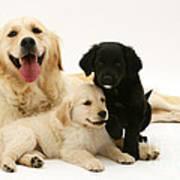 Golden Retriever And Puppies Art Print by Jane Burton