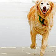 Golden Retriever Running On Beach Art Print by Stephen O'Byrne