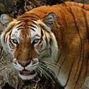 Golden Tabby Bengal Tiger Art Print