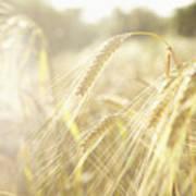 Golden Wheat Field In Sunlight, Close-up Art Print
