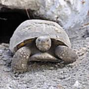 Gopher Tortoise Art Print