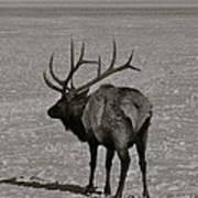 Grand Dad Elk Art Print