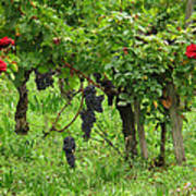Grape Vines And Roses I Art Print