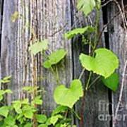 Grape Vines On An Old Barn Art Print