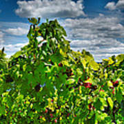 Grape Vines Up Close Art Print