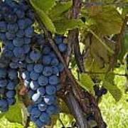 Grapes On A Vine Sutton Junction Quebec Art Print