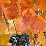 Grapes On The Vine - Vertical Art Print