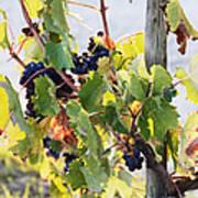 Grapes On Vine Art Print by Jeremy Woodhouse