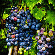 Grapes Ready For Harves Art Print
