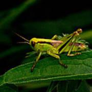 Grasshopper 1 Art Print