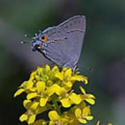 Gray Hairstreak Butterfly Din044 Art Print