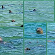 Gray Seals At Chatham - Cape Cod Art Print