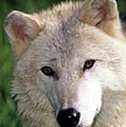 Gray Wolf Face Art Print