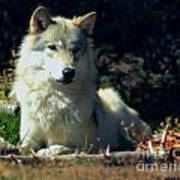 Gray Wolf ... Montana Art Photo Art Print