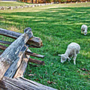 Grazing Farm Animals At Booker T. Washington National Monument Park Art Print by James Woody