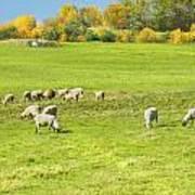 Grazing Sheep On Farm In Autumn Maine Art Print