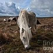 Grazing The Moor Art Print