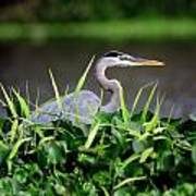 Great Blue Heron Hiding In The Grasses Art Print