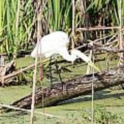 Great Egret Hunting Art Print