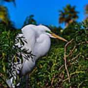 Great Egret In A Tree Art Print